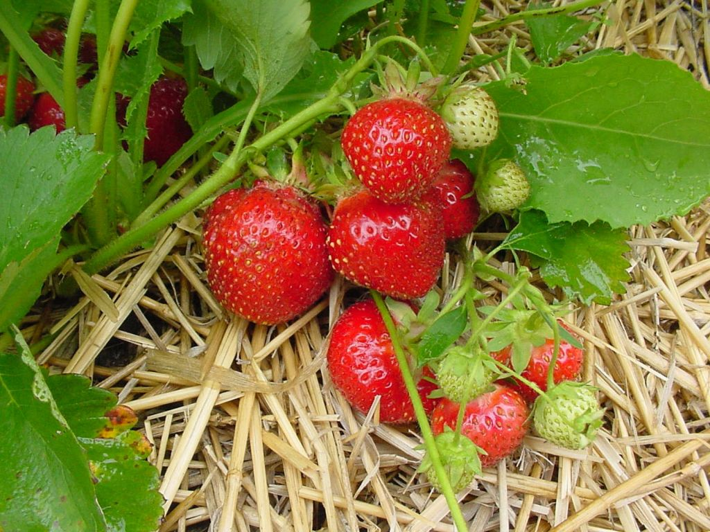 CCP Kent Strawberry Vermette1-1